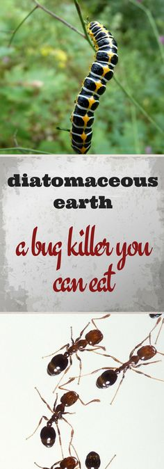 Diatomaceous earth - a bug killer that is effective, earth-friendly and so safe you can eat it