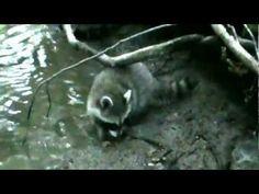 Young Raccoons Enjoying the Wild Life!!