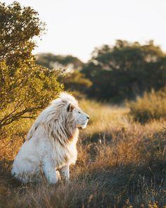 A stunning big cat ✨ #Lion #Animals #Nature