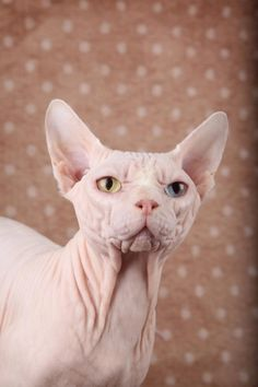 Sphynx kittens for sale, NADA Sphynx and Devon Rex, Rescue, Kittens, Sphynx Kittens For Sale, Kitten For Sale, Cats And Kittens, Hairless Cats, Pusheen Cat, Grumpy Cat, Wise Animals, Devon Rex Cats, Mean Cat