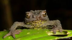 Osornophryne sumacoensis from Sumaco Volcano, Ecuador… Chameleons, Lizards, Chinese Water Dragon, Gila Monster, Monitor Lizard, Komodo Dragon, Green Frog, Cute Frogs, Frog And Toad