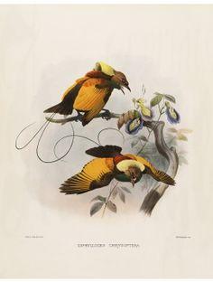 12 Golden winged Bird of Paradise