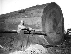Page Not Found - Forest History Society Giant Sequoia Trees, Giant Tree, Big Tree, Vintage Pictures, Old Pictures, Vintage Images, Old Photos, Tree Logs, Old Trees