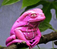 Unhypsignathe monstrueux Rare Animals, Animals And Pets, Funny Animals, Pink Animals, Bizarre Animals, Unusual Animals, Adorable Animals, Funny Frogs, Cute Frogs