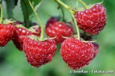 Comment bien entretenir ses framboisiers bio ? Les framboises sont des petits fruits dont la culture et l'entretien sont vraiment très faciles. Voici quelques conseils pour obtenir de belles récoltes de framboises bio dans votre jardin.