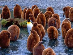 Strikingly colored, an adult king penguin stands out in a sea of chicks on South Georgia Island.
