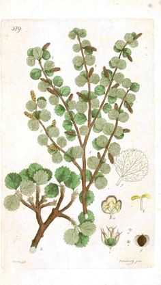 Botanical - Mint family  - try at pageantbooks.com