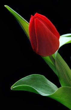 »« Amo tulipas .................! »«