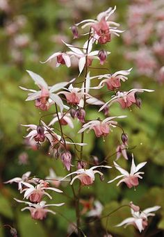 Epimedium 'Pink Elf' New! Z 5 - 8 shade - part shade [Pink Elf Fairywings] This dainty Fairywings is clumping in habit. Foliage reaches about one foot in height and eventually, given time, will be about 2 feet across. Leaves are green with bronzing in spring. Flowers are pale pink spurs with a dark pink center cup on wiry stems above first-flush small leaves. After flowers have faded a second set of leaves rise above the first set. Tough as nails perennial.