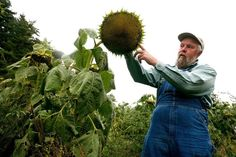 Larry Scott, of Newbury, Vt., talks about when his sunflower crop will be ready for harvest during an interview at his farm on Sept. 13, 2014. Ten of the 20 acres he has grown are to be converted to biodiesel fuel for Green Mountain Power's use. (Valley News - Geoff Hansen)