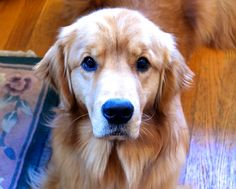 Clyde looks at me and I turn to mush.  Golden Retriever :)