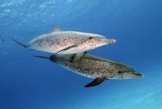 Spotted Dolphin-saw these circling us while we did a Black water dive in Kona, Hawaii.