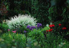 Salix integra 'Hakuro Nishiki' flushing white new growth, with Papaver orientale 'Beauty of Livermore' & Allium 'Globemaster' in June