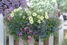"""Angelface White"" Summer Snapdragon Angelonia angustifolia hybrid, ""Laguna Sky Blue"" Lobelia erinus, ""Supertunia Limoncello"" Petunia hybrid, ""Supertunia Mini Rose Veined"" Petunia hybrid, ""Babylon Deep Pink"" Verbena hybrid"