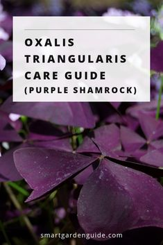 Oxalis triangularis care Also known as purple shamrock or false shamrock How to grow and care for oxalis triangularis houseplants Whether starting from bulb or mature pla. Indoor Flowering Plants, Best Indoor Plants, Blooming Plants, Garden Plants, Indoor Flowers, Smart Garden, Garden Care, Container Plants, Container Gardening