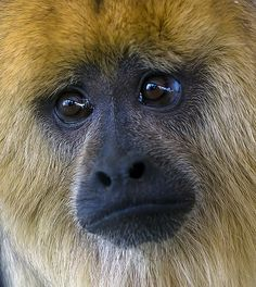 Sad Howler Monkey ✿⊱╮