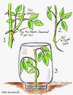 30 Diagrams to Make You Master in Growing Roses | Balcony Garden Web