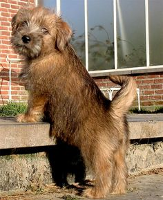 Cachorro.co: Norfolk Terrier www.cachorro.co