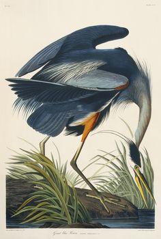 cvilletochucktown:  The Great Blue Heron