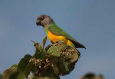 Senegal-Parrot.jpg (1600×1099)