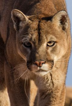 Mounain Lion Photo: Mountain Lion also know as a Cougar or Puma. Beautiful Cats, Animals Beautiful, Animals And Pets, Cute Animals, Gato Grande, Mountain Lion, Majestic Animals, Mundo Animal, Tier Fotos