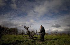 """Rob Campbell, owner of Story Winery in Amador County, prunes a Mission grape vine, which he says resembles """"something out of Snow White's haunted forest."""" Photo: Carlos Avila Gonzalez, The Chronicle"""