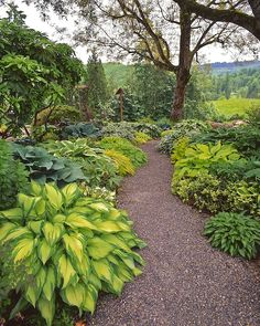 The hosta walk at Joy Creek Nursery in Scappose, Oregon.  One of my favorite places on earth!  Who needs flowers?