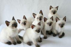 Hodowla kotów tajskich - koty syjamskie klasyczne - rodowodowe koty tajskie - koty rasowe.
