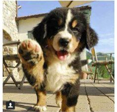 Bermese Mountain dog puppy high five!!!!!!!