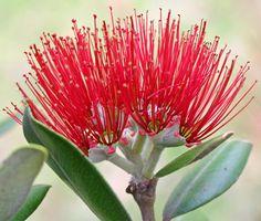 Pohutukawa bloom by Helen M Evans, via Flickr