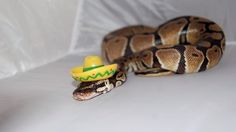 Don't Be Scared, Here Are 15 Snakes Wearing Tiny Hats