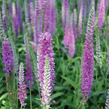 Image result for veronica flower