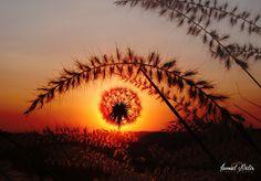 Dandelion -  Taraxacum - Karahindiba Çiçeği - Taraxacum Flower! www.ismailbilir.com https://www.facebook.com/ismailbilir.400 https://www.instagram.com/ismail_bilir40/