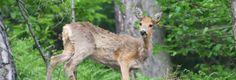 Capriolo fotografato presso il Centro Faunistico di Paspardo, gestito dall'Associazione Uomo e Territorio Pro Natura in collaborazione con il Parco dell'Adamello e il Comune di Paspardo