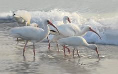 Ibis in the Surf