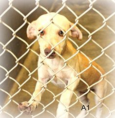 SUPER URGENT!! PLEASE SAVE ME!!  Just a baby!!! Chihuahua male less than a year old  Kennel A1 Available 7-29-2014 ****$51 to adoptLocated at Odessa, Texas Animal Control. Must have a valid Drivers License and utility bill with matching address to adopt.