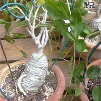 Tropical plant catalog - Fockea crispa