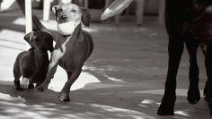 Bassotto, i cani, собаки, таксы