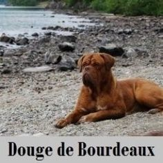 The Douge De Bourdeaux also known as the French Mastiff or more commonly described as the dog from Turner and Hooch. We Love our Mastiff they are the kindest gentelest dogs I have ever come across