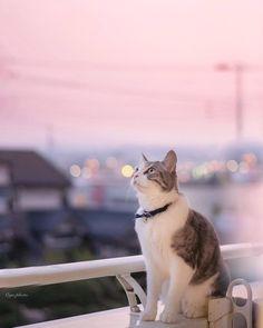初夏のようなお天気だったな 🌞⠀  #Regram via @nekoclub_jpn Japanese Cat, Neko, Cute Cats, Animals, Beautiful Cats, Animaux, Animales, Animal, Dieren