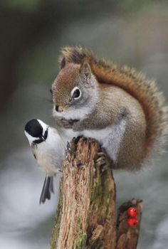 A Squirrel & A Chickadee. Photo By: Andre Villeneuve… Nature Animals, Animals And Pets, Baby Animals, Funny Animals, Cute Animals, Small Animals, Wild Animals, Beautiful Creatures, Animals Beautiful