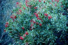 Toyon Berries - Edible cooked or dehydrated.