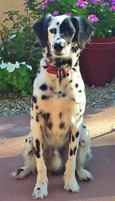 Long Haired Dalmatian Puppy For Sale : haired, dalmatian, puppy, Dalmatians, Other, Spots, Ideas, Dalmatian, Puppy,, Dalmatian,