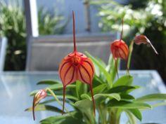 plant is very healthy the names is masdevallia pichincha masdevallia ...