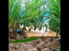 เลี้ยงกบง่ายๆโตเร็วแถมมีผักไว้กิน But frogs can grow vegetables to eat . - YouTube