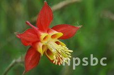 Aquilegia formosa (Red Columbine) // seeds available at NALT
