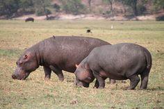 Hungry Hippos - Chobe National Park, Botswana - Photo