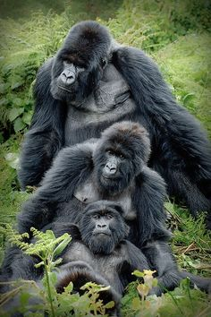 Mountain Gorilla Family! The Silverback Ubumwe overlooking his subjects in the Amahoro-group of mountain gorillas. by Andreas Rolfer