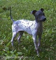 American Hairless Terriers standing on grass with its tail up