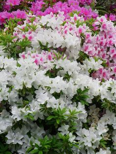 Azaleas in every color adorn the yard and driveway. Mama has spent the past years planting, trimming, pruning, tending these springtime adornments. Need a little shade though. Flowering Shrubs, Trees And Shrubs, Outdoor Landscaping, Outdoor Gardens, Love Flowers, Beautiful Flowers, Front Yard Flowers, Bonsai, Asiatic Lilies